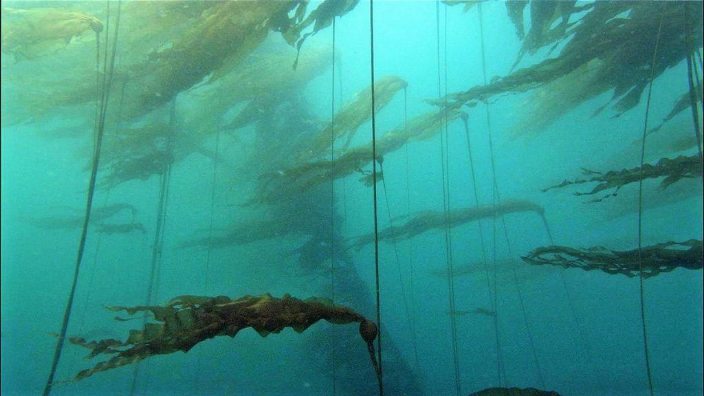 kelp in de zee