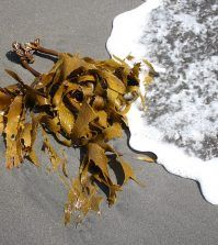 Kelp op het strand